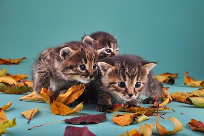 Grupp av små kattungar i höstsidor arkivfoton
