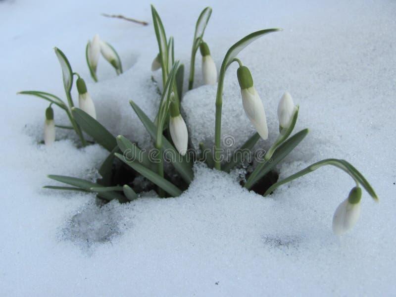 Grupp av snödroppar i snön royaltyfri bild