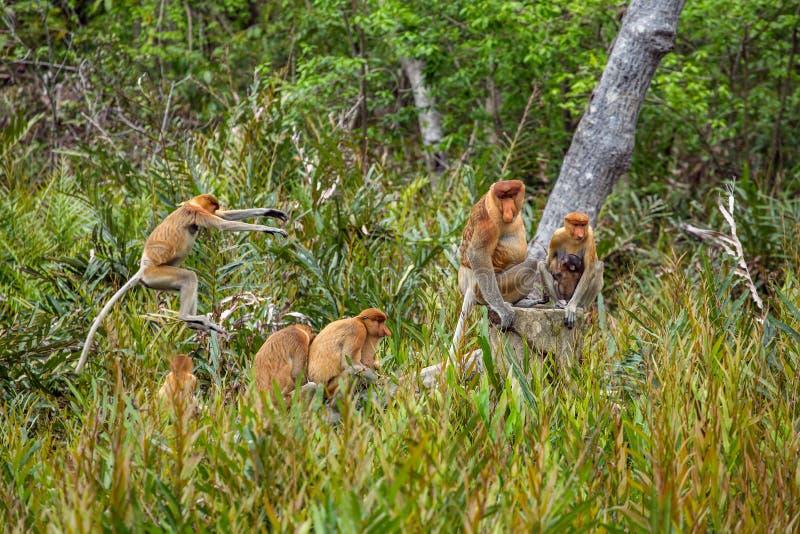Grupp av snabelapor & x28; Nasalislarvatus& x29; endemisk av Borneo royaltyfria foton