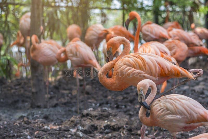 Grupp av större flamingo arkivfoton