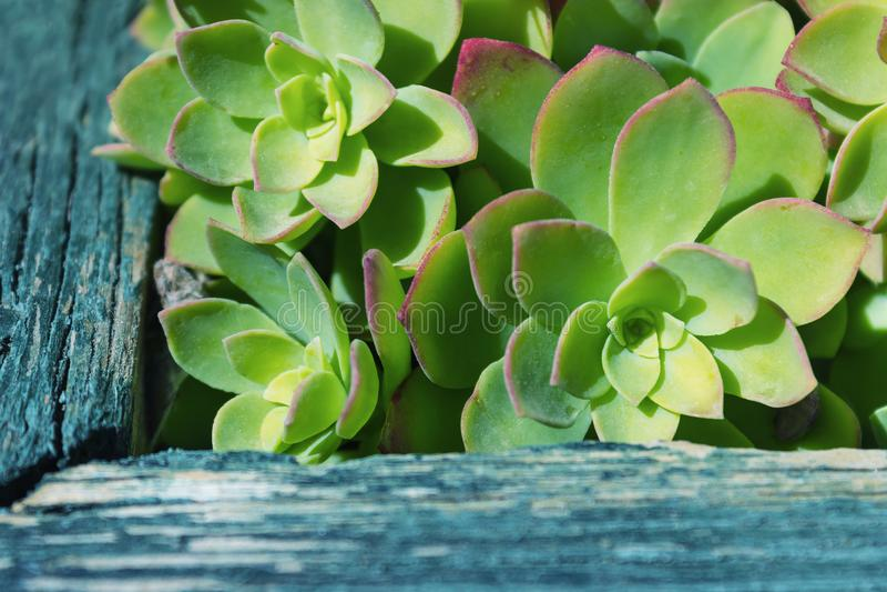 Grupp av suckulenter Sempervivum Naturlig bakgrund, grupp av arkivbilder