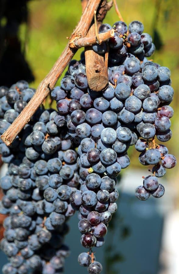 Grupp av svarta druvor i en vingård royaltyfria bilder