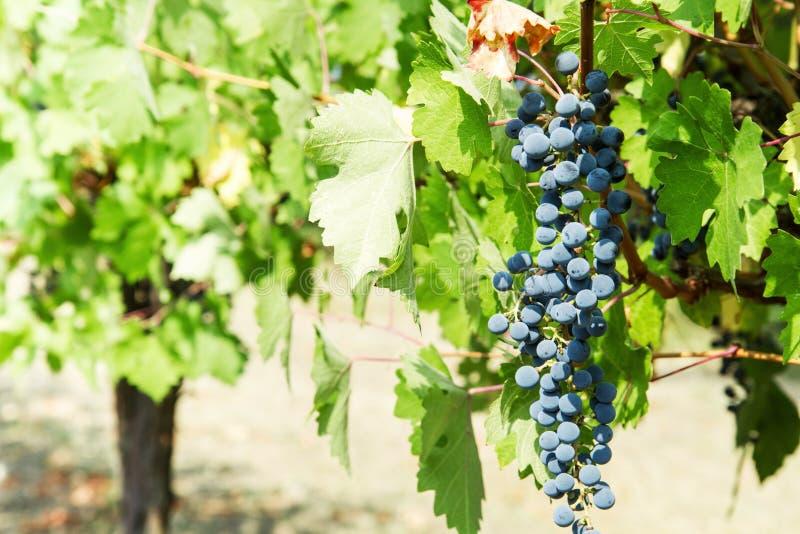 Grupp av svarta druvor i vingård arkivbilder
