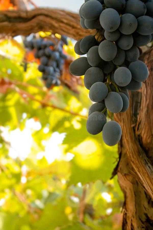 Grupp av svarta mogna winedruvor på vinen arkivfoton