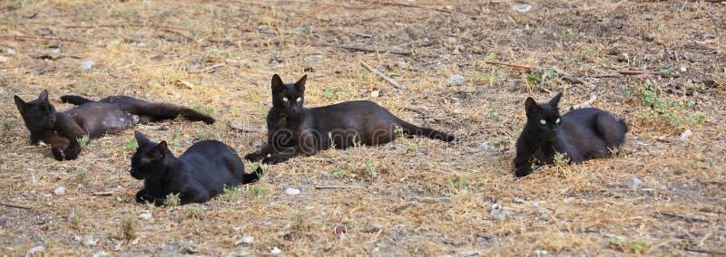 Grupp av svartvilsekommet djurkatter royaltyfria foton