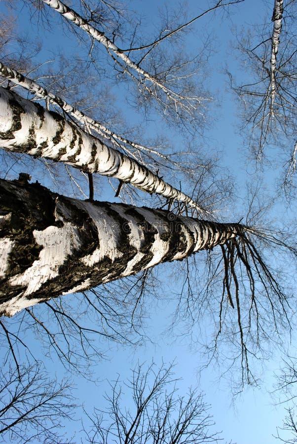 Grupp av svartvita stammar textur och filialer för björkträd utan sidor på blå vårhimmelbakgrund arkivfoto
