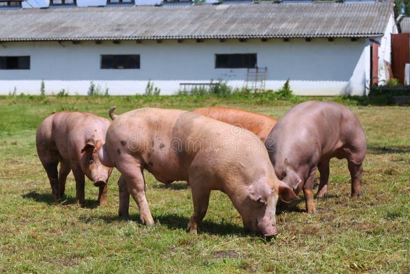 Grupp av svin på lantlig plats för djur lantgård royaltyfri bild