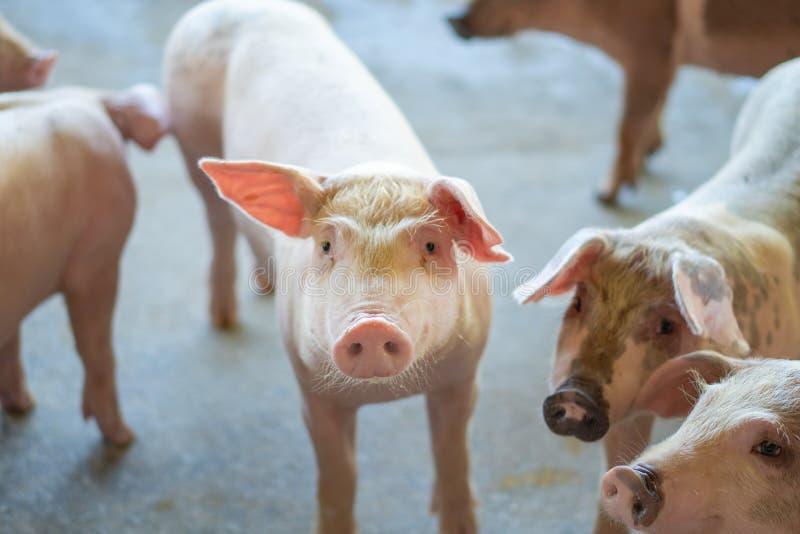Grupp av svinet som ser sunt i lantgård för lokalASEAN-svin på boskap Begreppet av det standardiserade och rena lantbruket utan l royaltyfri bild