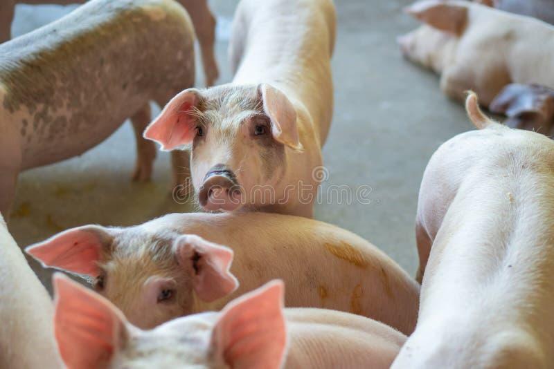 Grupp av svinet som ser sunt i lantgård för lokalASEAN-svin på boskap Begreppet av det standardiserade och rena lantbruket utan l royaltyfria foton