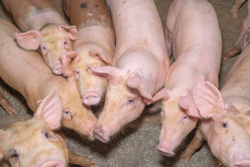 Grupp av svinet som ser sunt i lantgård för lokalASEAN-svin på boskap Begreppet av det standardiserade och rena lantbruket utan l royaltyfria bilder
