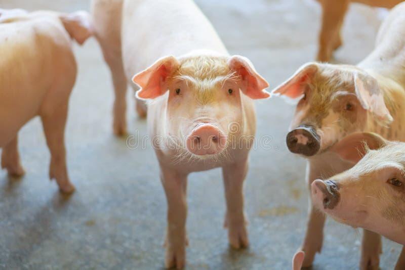 Grupp av svinet som ser sunt i lokalASEAN-svinfarm på boskap Begreppet av standardiserat och rent bruka utan lokalt arkivfoto
