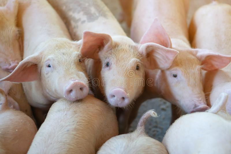 Grupp av svinet som ser sunt i lokalASEAN-svinfarm på boskap Begreppet av standardiserat och rent bruka utan lokalt royaltyfria bilder