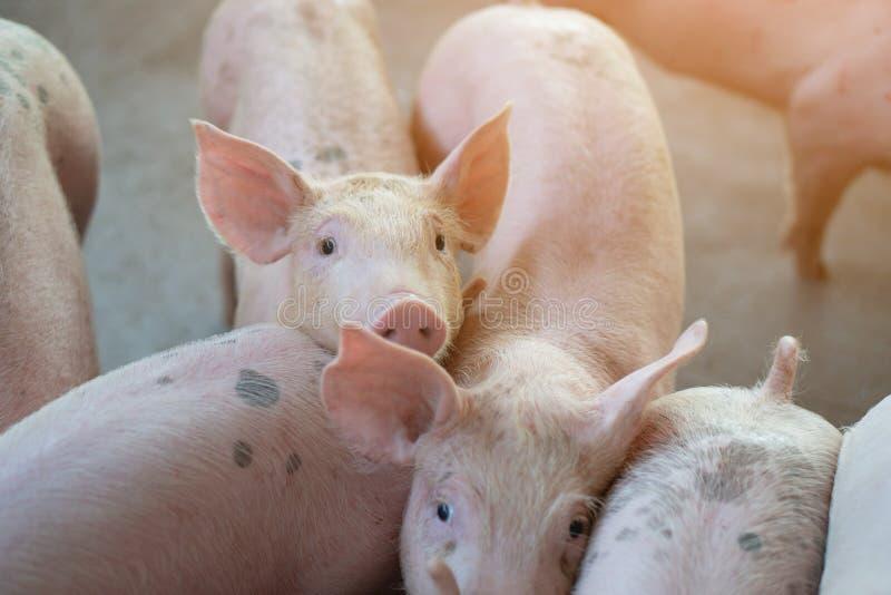 Grupp av svinet som ser sunt i lokalASEAN-svinfarm på boskap Begreppet av standardiserat och rent bruka utan lokalt fotografering för bildbyråer