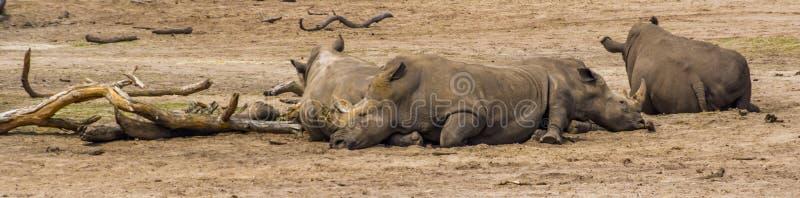 Grupp av sydliga vita noshörningar som vilar på jordningen, utsatt för fara djur specie från Afrika royaltyfria foton