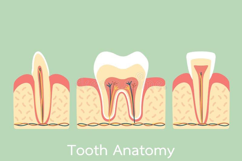 Grupp av tandanatomistrukturen inklusive benet och gummit, kindtand, framtand, hörntand stock illustrationer