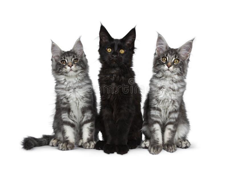 Grupp av tre blåa strimmig katt/svarta fasta Maine Coon kattkattungar på vit bakgrund royaltyfria foton