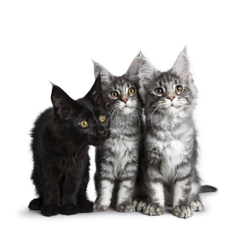 Grupp av tre blåa strimmig katt/svarta fasta Maine Coon kattkattungar på vit bakgrund arkivfoto
