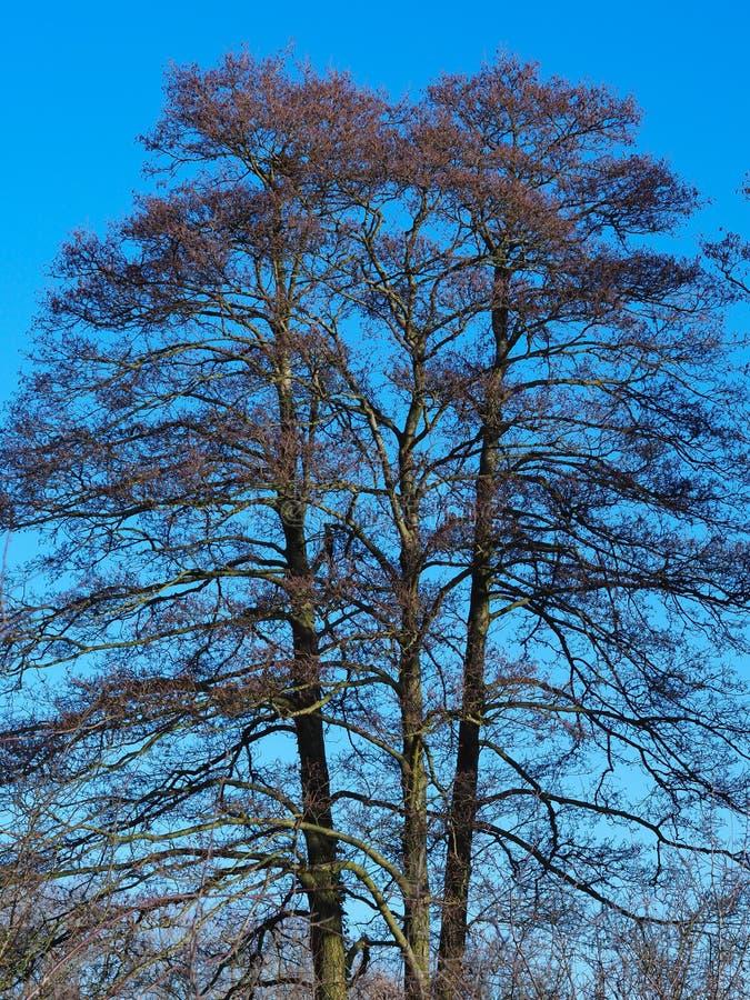 Grupp av tre högväxta träd i vinter med en klar blå himmel arkivfoto