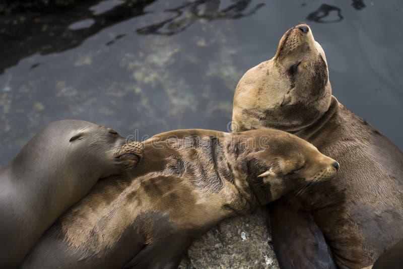 Grupp av tre sova sjölejon med vatten arkivfoto