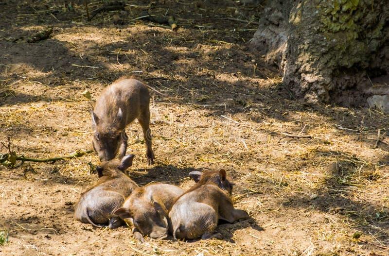 Grupp av unga gemensamma vårtsvin tillsammans i sanden, tropisk lös svinspecie från Afrika arkivfoto