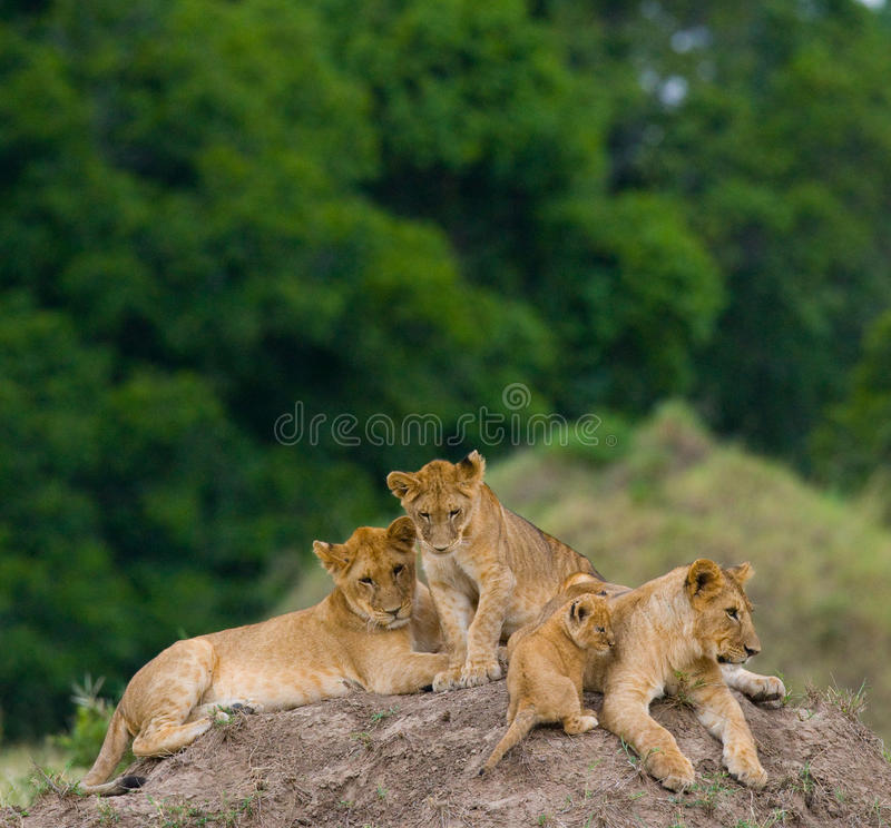 Grupp av unga lejon på kullen Chiang Mai kenya tanzania mara masai serengeti royaltyfri foto