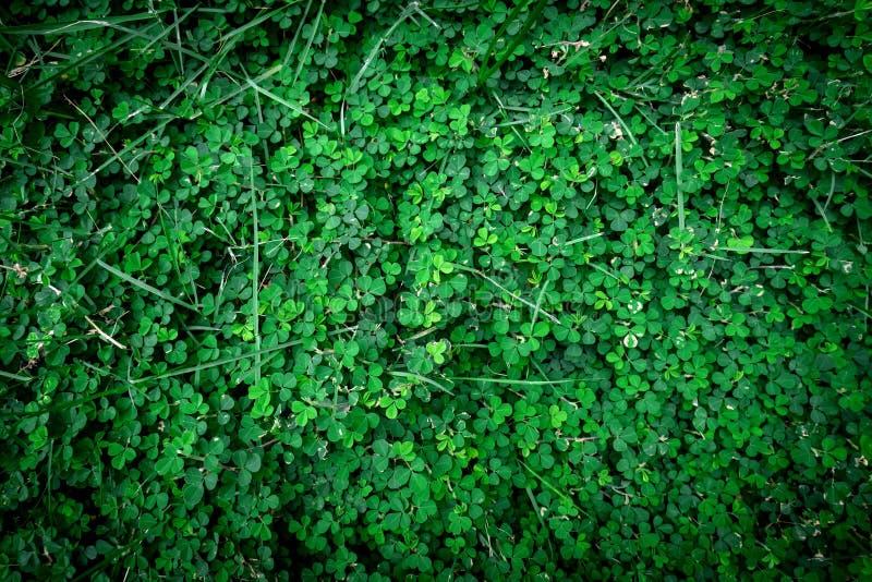 Grupp av växter av släktet Trifolium royaltyfria foton