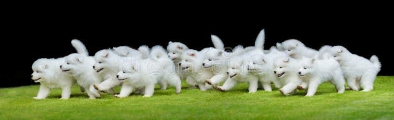 Grupp av valpar av Samoyedhundspring på grönt gräs royaltyfri fotografi