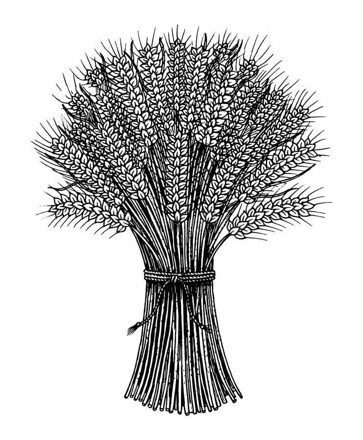 Grupp av vete, rågspikelets och havrefrö för framställning av bröd och av mjöl Naturliga sädesslag, hel korn och organiskt vektor illustrationer