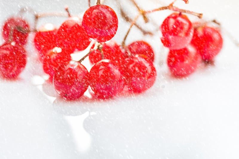 Grupp av vibrerande röda guelder-ros bär på vit bakgrund, fallande snö, ren minimalist utformad bild, kopieringsutrymme Jul royaltyfri foto