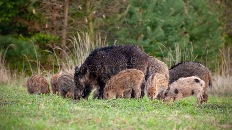 Grupp av vildsvin med mycket små avrivna spädgrisar som matar i vildmark i vår royaltyfri foto