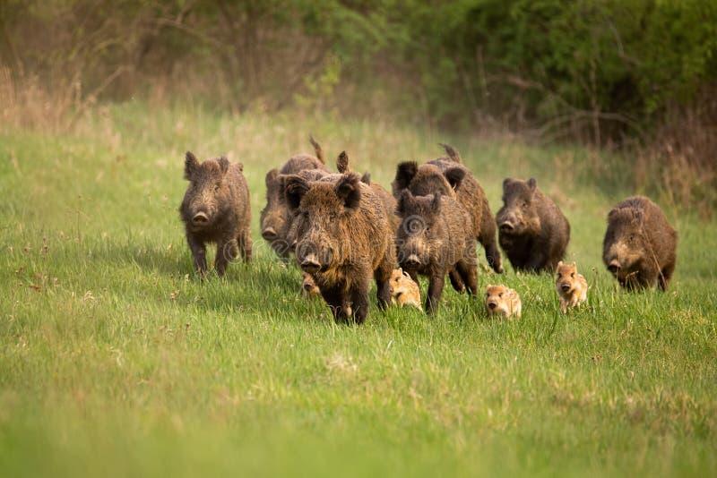 Grupp av vildsvin, susscrofa som kör i vårnatur royaltyfri foto