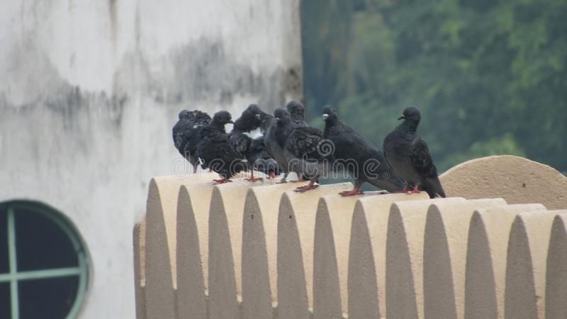 grupp av vilt löst duvasammanträde på taket av hushemhjälpen royaltyfri bild