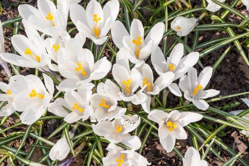 Grupp av vit krokus Vernus i en solig vårdag, underbart härligt blomma av krokusvernusen royaltyfri foto