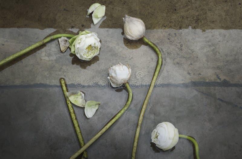Grupp av vit lotusblomma fotografering för bildbyråer