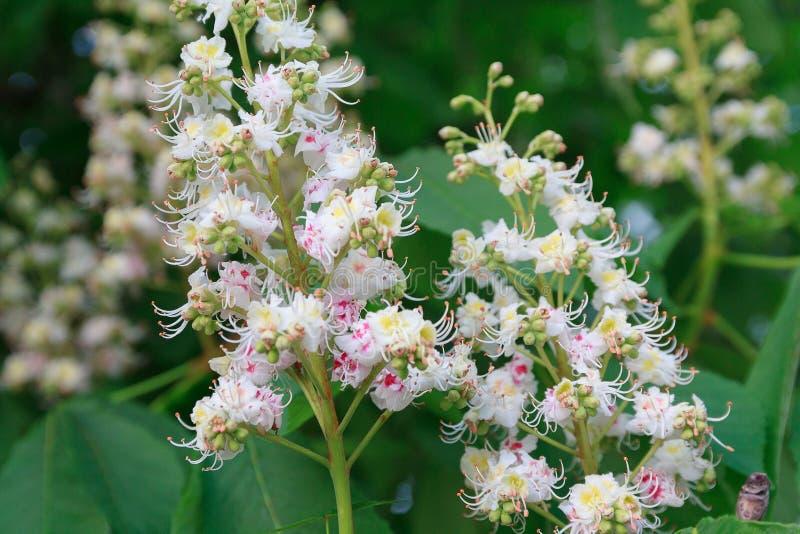 Grupp av vita blommor av detkastanj trädet royaltyfria foton