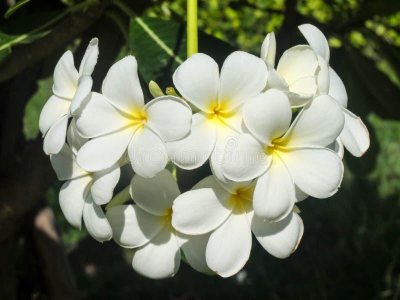 Grupp av vita frangipanis eller plumeriablommor royaltyfri foto