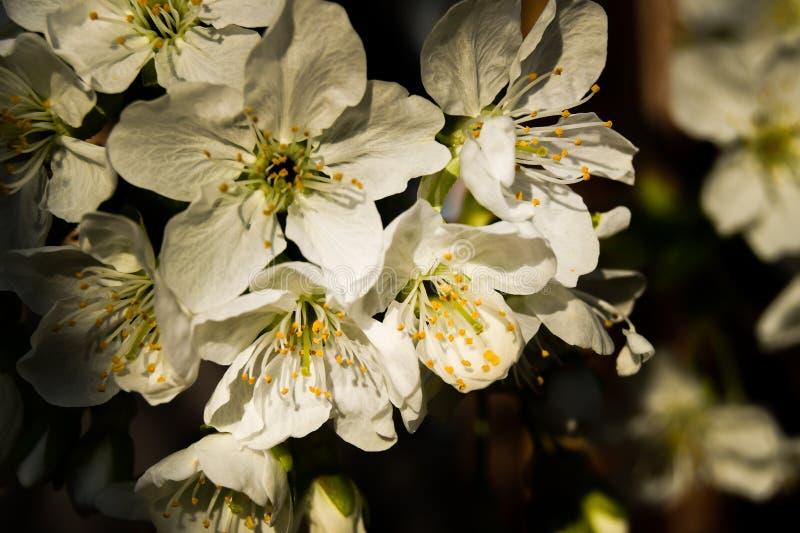 Grupp av vita körsbärsröda blommor på trädet fotografering för bildbyråer