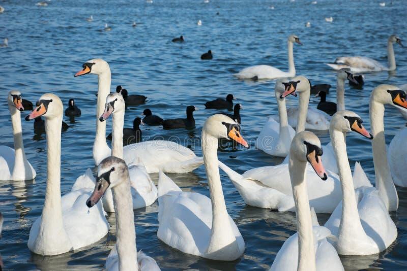 Grupp av vita svanar med långa halsar som simmar i blått vatten av sjön och med svarta änder i bakgrunden royaltyfria bilder