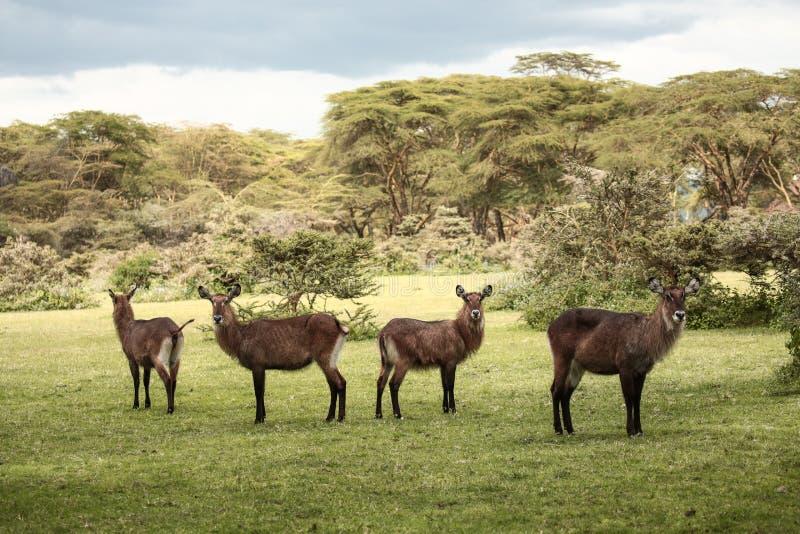 Grupp av Waterbuck i Afrika royaltyfri foto