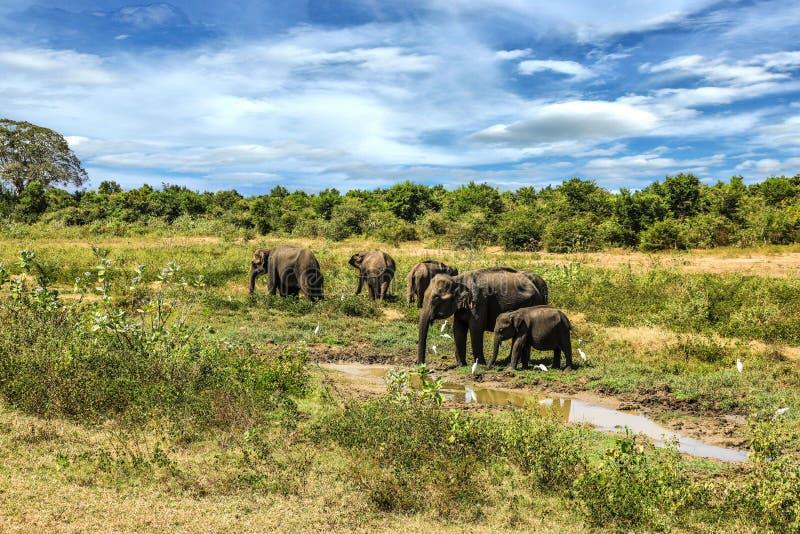 Grupp för Sri Lanka Udawalawe nationalparkelefant royaltyfria bilder
