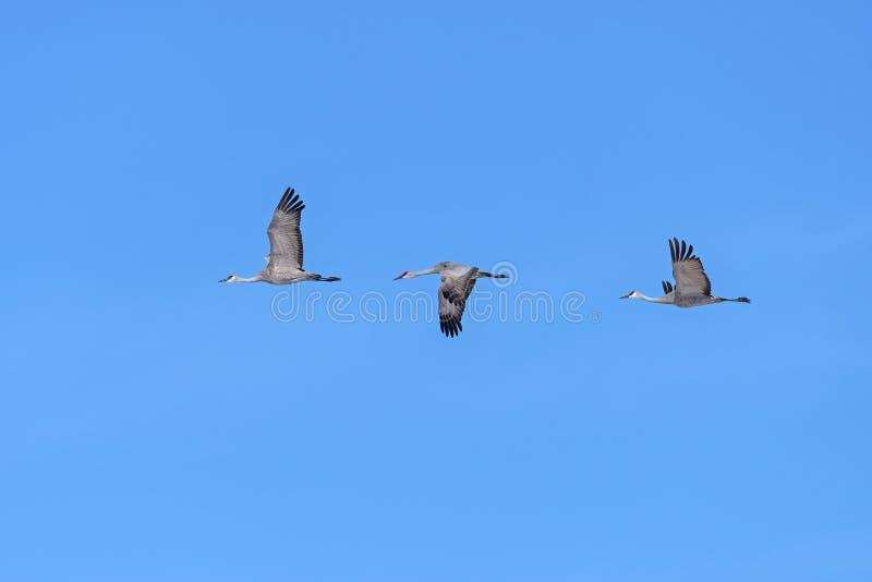 Grupp Sandhill Cranes in Flight arkivfoton