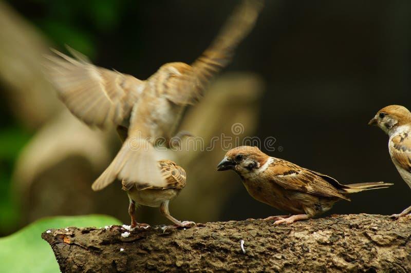 Grupp sittpinne av för den filippinska Maya Bird Eurasian Tree Sparrow eller förbipasserandemontanusen på trädfilial royaltyfri bild
