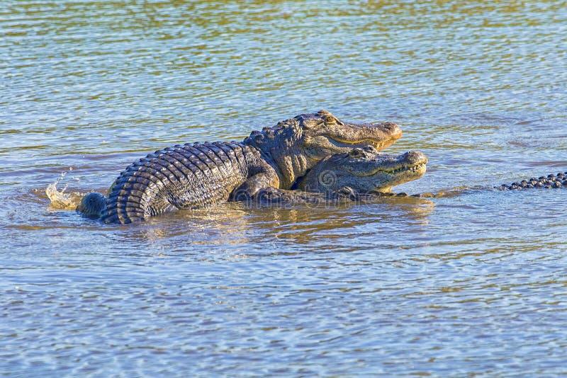 Gruppe amerikanische Alligatoren zusammen gruppiert stockfotografie