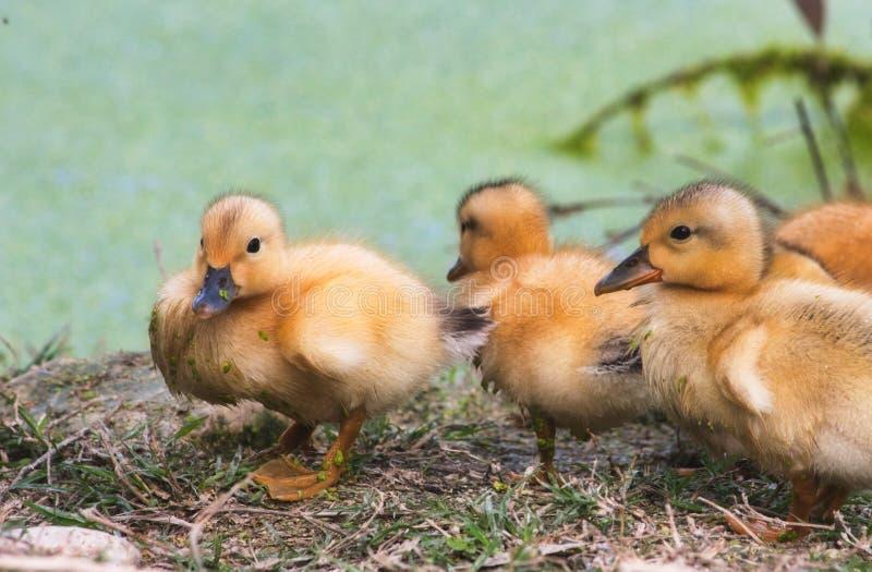 Gruppe Babyentlein auf dem Ufer von einem See im Wald stockfotos