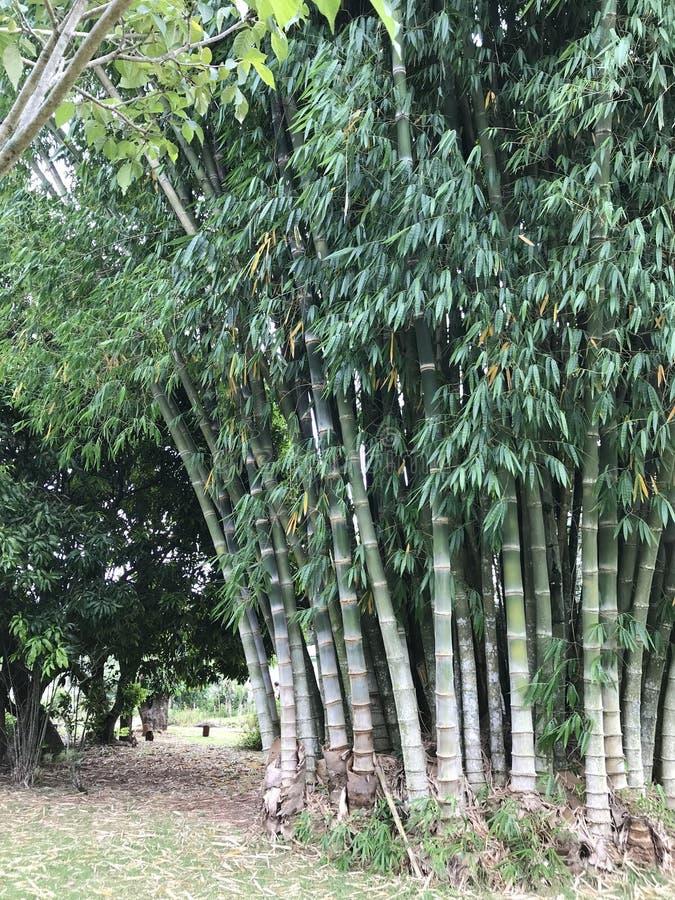 Gruppe Bambusse stockbild
