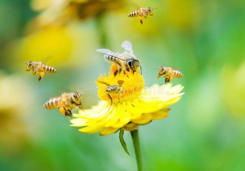 Gruppe Bienen auf einer Blume stockfotografie