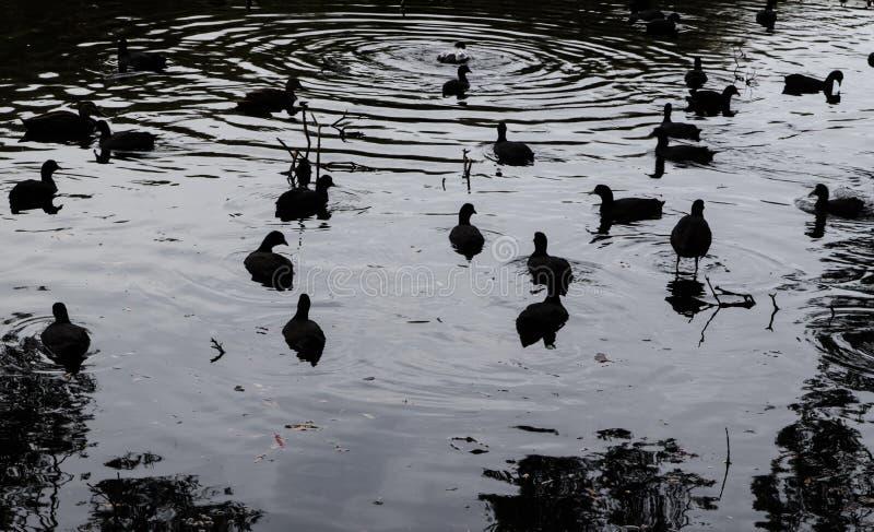 Gruppe Blässhuhnwasservögel, die im Seeteich zur Sonnenuntergangzeit, Bild im dunklen Schwarzweiss-Farbton schwimmen lizenzfreies stockfoto