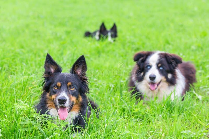 Gruppe Border-Collien, die im grünen Gras liegen lizenzfreies stockfoto