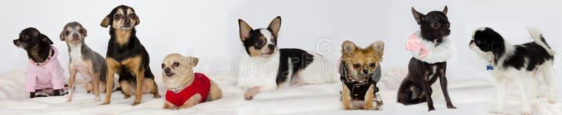 Gruppe Chihuahua. stockbilder