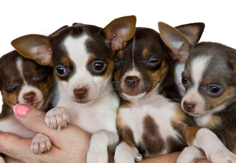 Gruppe Chihuahua. stockfotografie